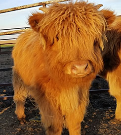 Scottish Highland Cattle Spring Auction Consignments